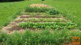 Zdravilne in aromatične rastline, zelišča za čaj ali začimbo