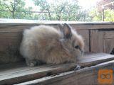 hišni zajčki lahko z rabljeno kletko 75cmx50 cm levjegrivi