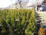 ciprese thuja smaragd višina 90cm