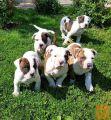 Američki buldog štenci