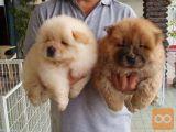 Psi mladičkov Chow Chow