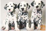 na voljo so dalmatinski mladički
