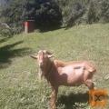 Prodam kozla