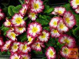 Prodaja okrasnih rastlin na tržnici