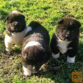 Beautiful puppies Akita Available for sale