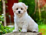 There are scary maltipoo puppies available