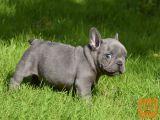 Super  Francosko  Psiček buldoga