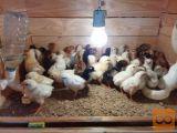 piščanci domačih nesnic